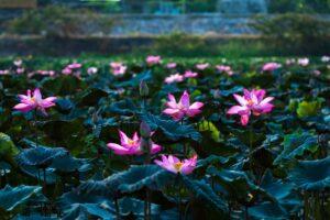 vietnam-freepixabayfoto-lotus-5084843_1920